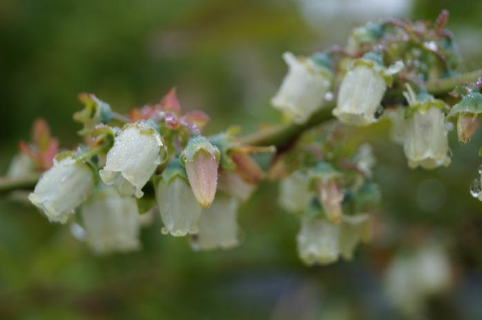 blåbär i blom