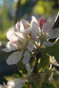 äppleblommor