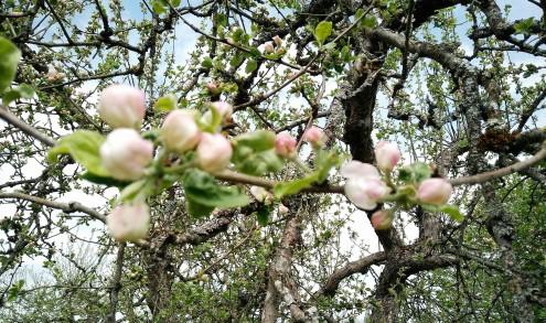 äppleträd i april