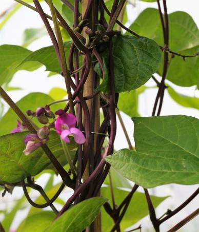 störböna lila