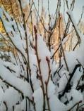 vinbärsbuske