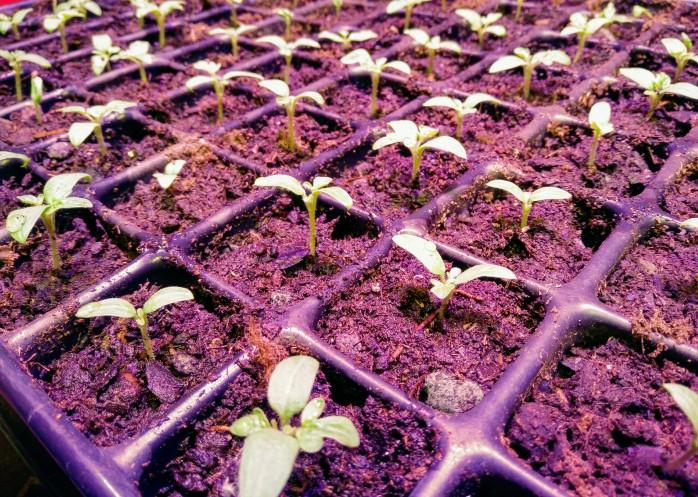 småplantor