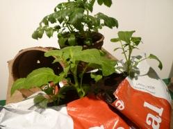 potatis i hink, säck