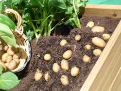 potatis i pallkrage