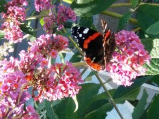 fjärilsbuske doftar gott