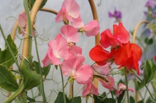 luktärt rosarött