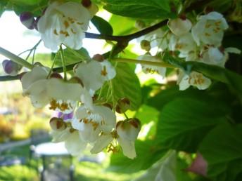 minikiwi blom