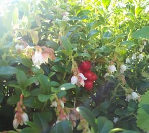 lingon i blom