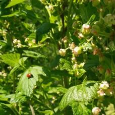 svartvinbär-blom