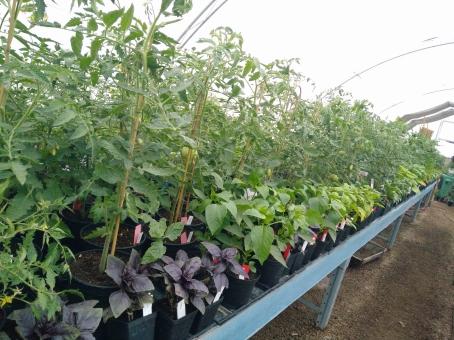 i växthuset, tomater, paprika, basilika...