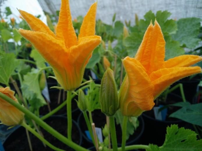 squash i blom