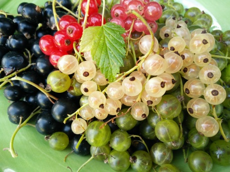 vinbär, svarta, vita, röda, rosa,gröna