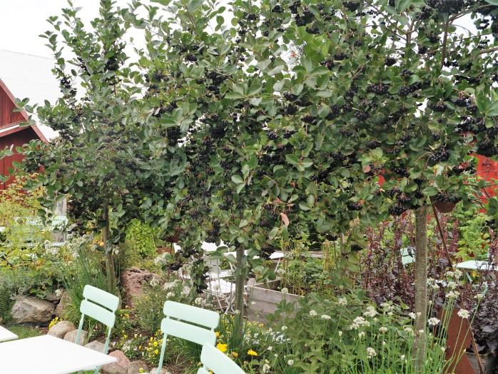 aroniaträd med bär