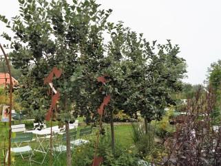aroniaträd