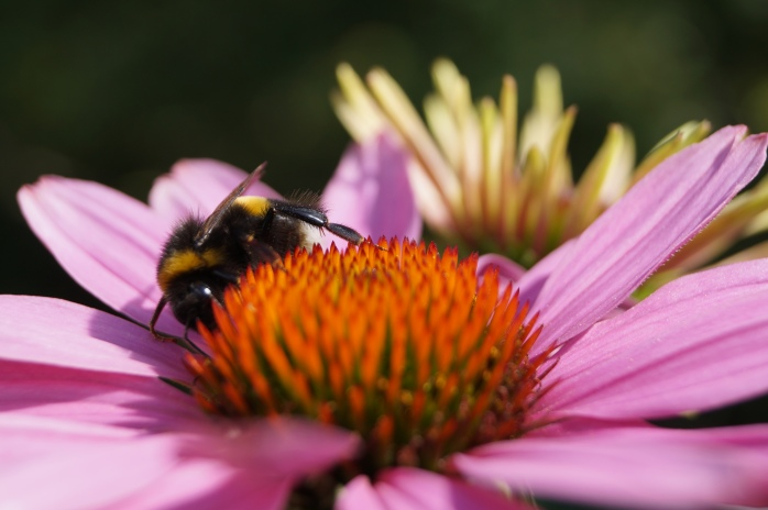 solhatt gillas av humlor, bin och fjärilar