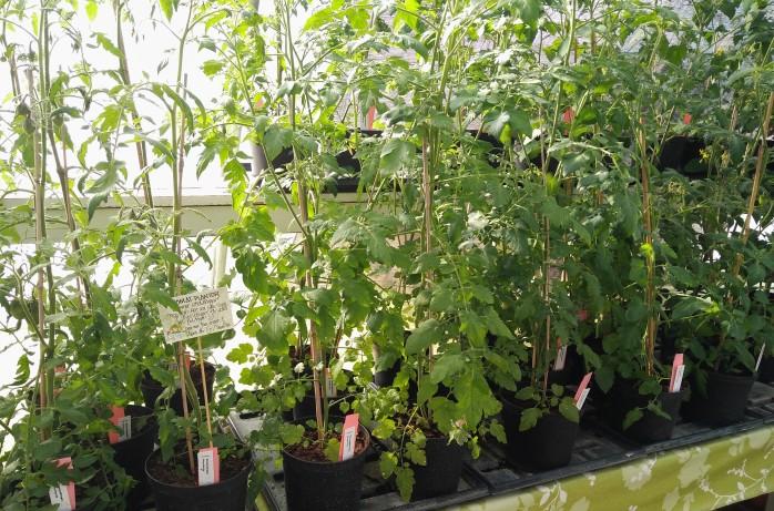 sommarsticklingar tomater