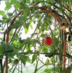 tomat på bambubåge