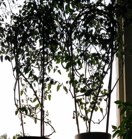 två-årsplantor fönsterodling