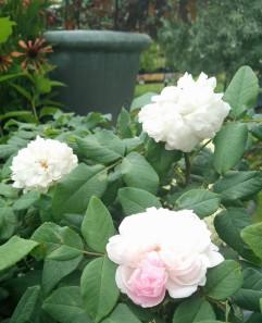 white jacques cartier