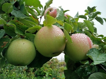 fredrik äpple