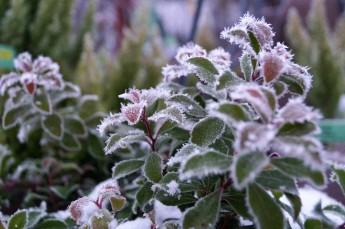 nattfrost