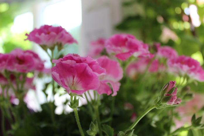 pelargon i blom
