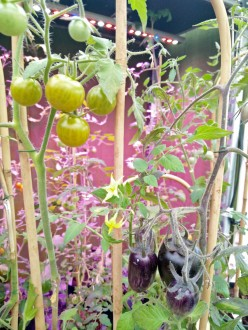 tomater på båge