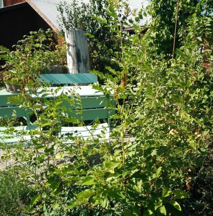 lakritsplanta i visningsträdgården