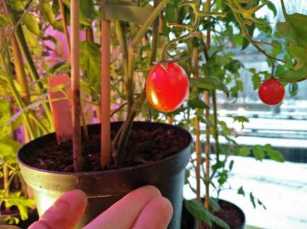 tomater i december