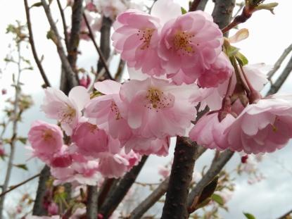 körsbär i blom