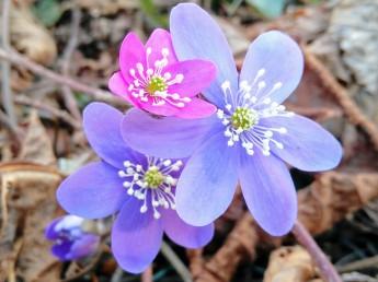 sippor, blå,rosa