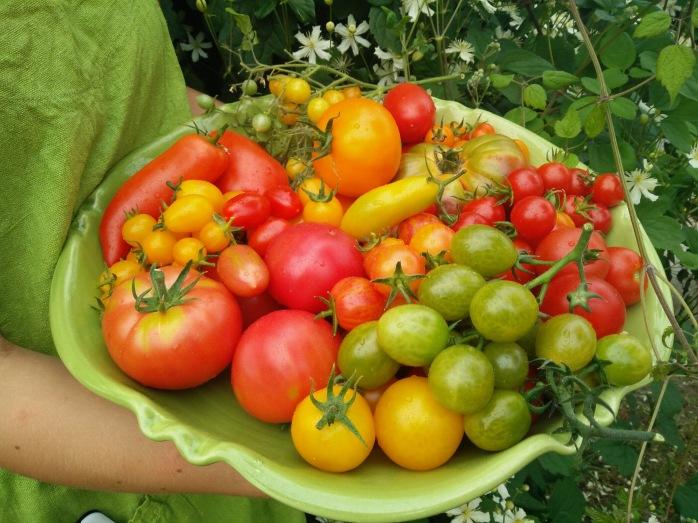 tomat, skördelycka