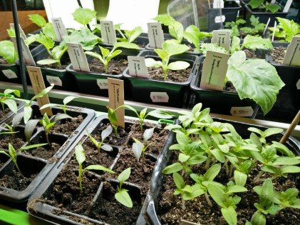 tomat,chili och gurkplantor på gång