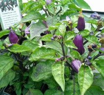 Trinidad PurpleCoffe