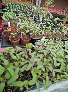tomat o chili på tillväxt