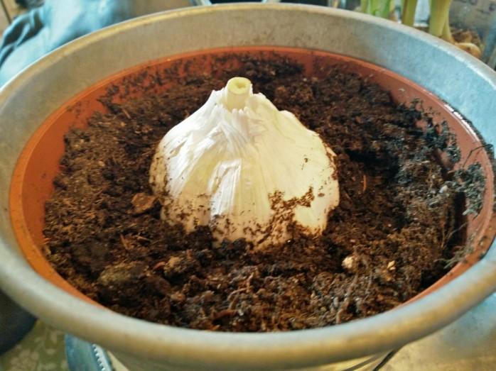 vitlök i kruka för blastskörd
