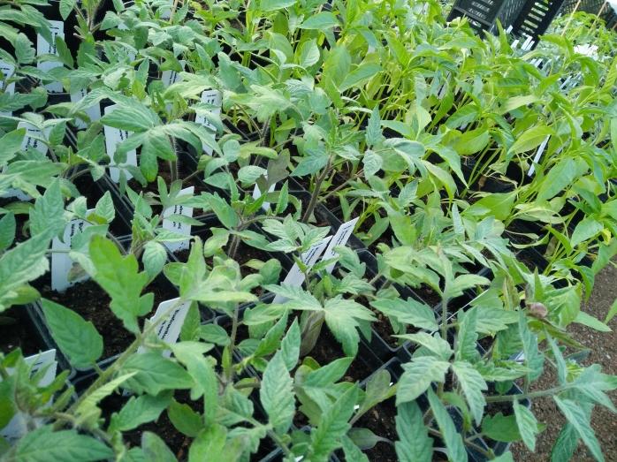 tomat o chili-plantor