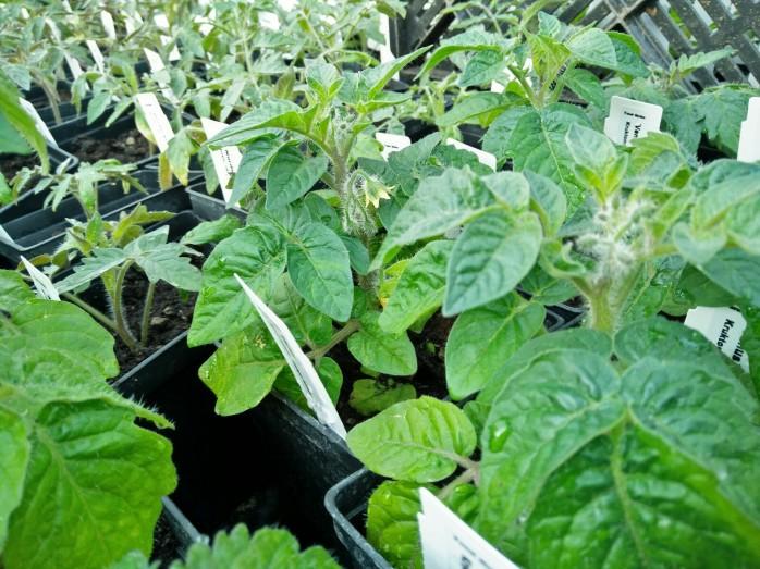 tomat, Venus, busk