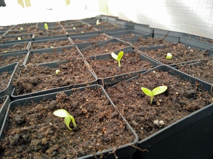 3 maj, gurkorna tittar upp