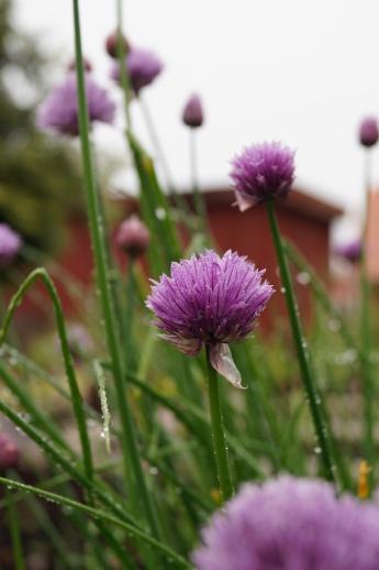 gräslök i blom
