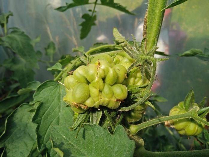 åsas tomat