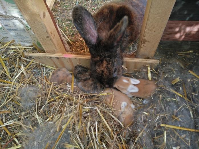 kaninbebisar