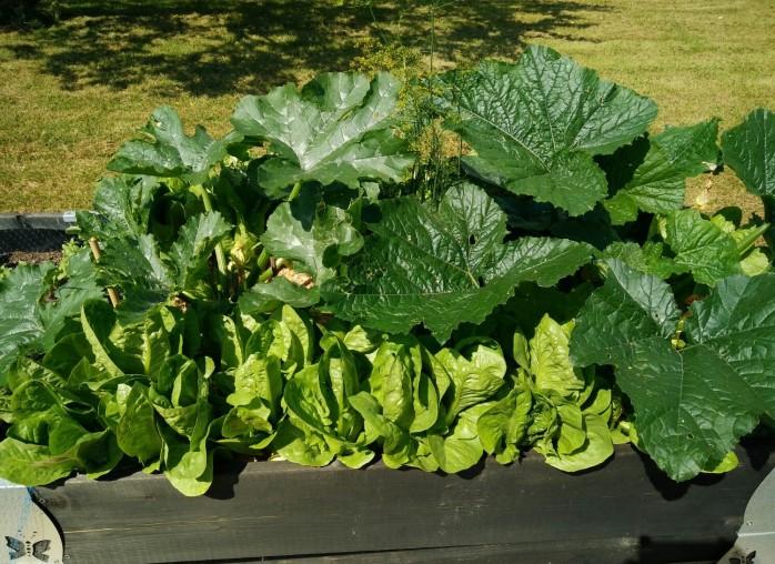 odlingslåda, squash och sallat